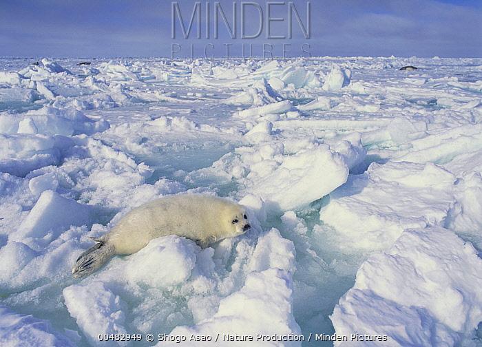 Harp Seal (Phoca groenlandicus), Gulf of Saint Lawrence, Canada  -  Shogo Asao/ Nature Production