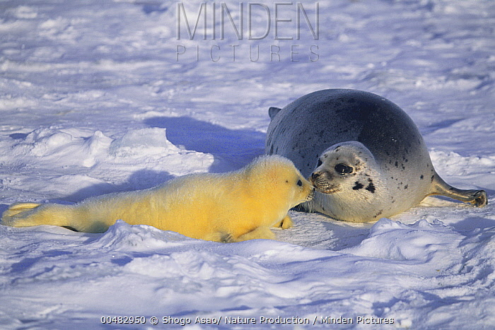 Harp Seal (Phoca groenlandicus) mother and pup, Gulf of Saint Lawrence, Canada  -  Shogo Asao/ Nature Production