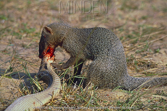 Indian Gray Mongoose  ...