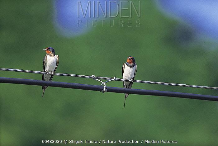 Barn Swallow (Hirundo rustica) pair perching on wire  -  Shigeki Iimura/ Nature Productio