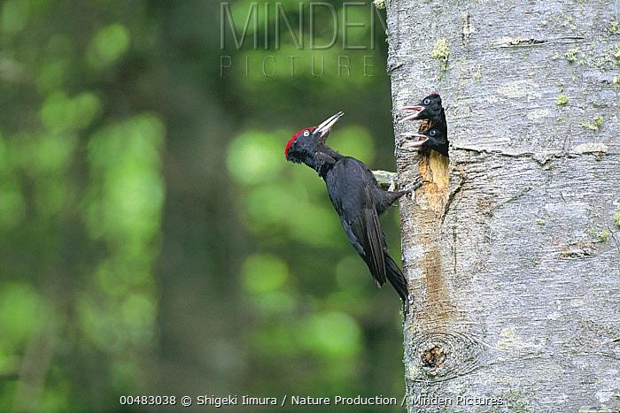 Black Woodpecker (Dryocopus martius) parent attending to chicks at entrance to nest  -  Shigeki Iimura/ Nature Productio