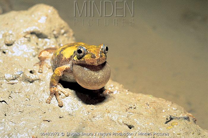 Japanese Tree Frog (Hyla japonica), Shiga, Japan  -  Shigeki Iimura/ Nature Productio