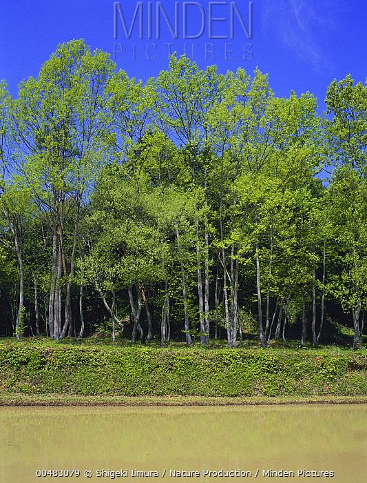 Rice (Oryza field flooded along forest edge, Shiga, Japan. Sequence 1 of 5  -  Shigeki Iimura/ Nature Productio