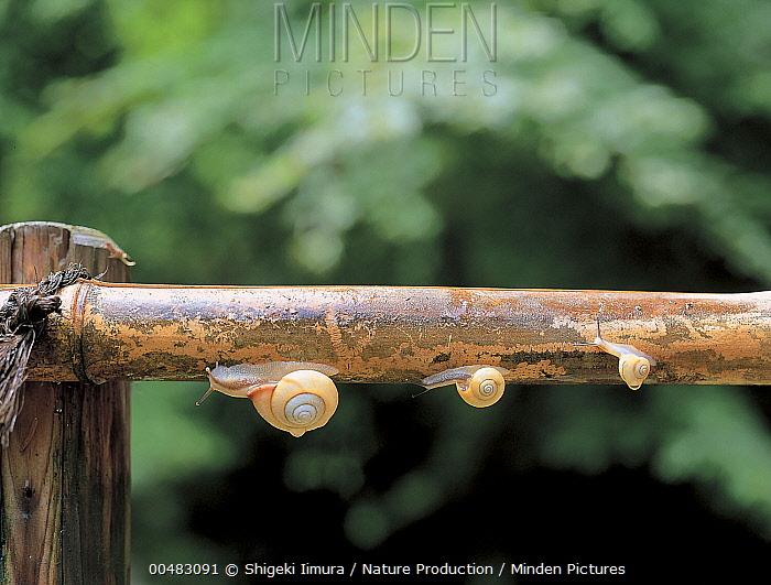 Snail (Euhadra amaliae) group crawling along railing, Shiga, Japan  -  Shigeki Iimura/ Nature Productio