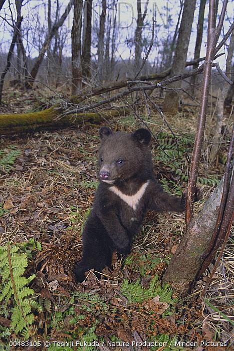 Asiatic Black Bear (Ursus thibetanus) cub, Russia  -  Toshiji Fukuda/ Nature Productio