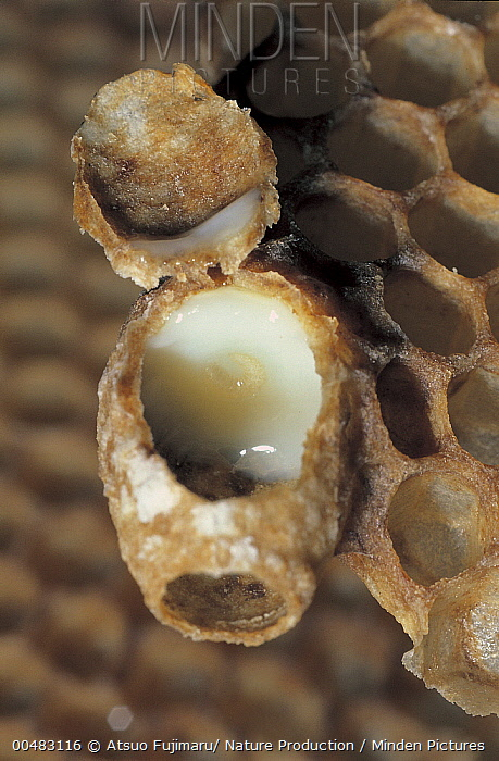 Honey Bee (Apis mellifera) larval chamber cross-section, Tokyo, Japan  -  Atsuo Fujimaru/ Nature Productio