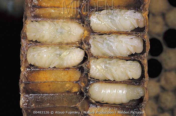 Honey Bee (Apis mellifera) larvae in chambers of cross-section honeycomb, Tokyo, Japan  -  Atsuo Fujimaru/ Nature Productio