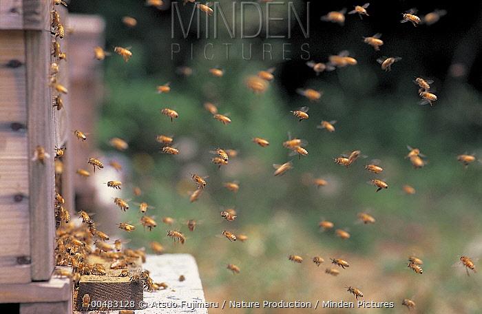 Honey Bee (Apis mellifera) swarm flying away from hive, Tokyo, Japan  -  Atsuo Fujimaru/ Nature Productio