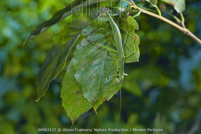 Stick Insect (Micadina yasumatsui) camouflaged against leaf of Konara Oak (Quercus serrata)  -  Atsuo Fujimaru/ Nature Productio