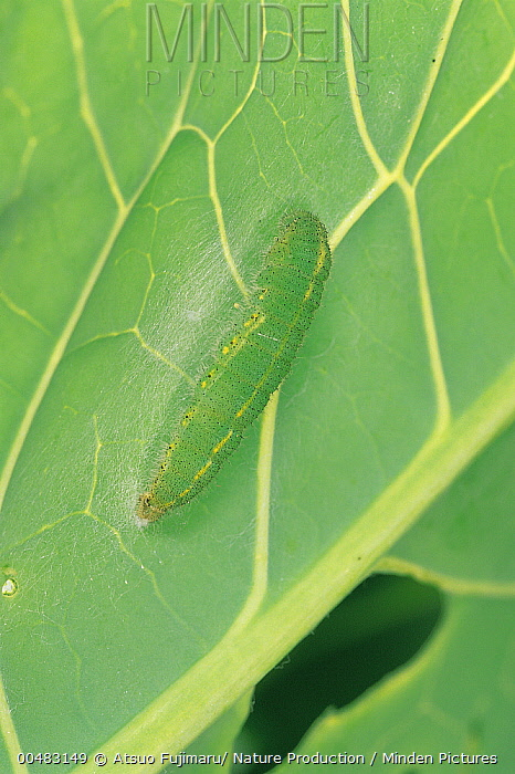 Cabbage White (Pieris rapae) caterpillar on leaf, Tokyo, Japan. Sequence 1 of 12  -  Atsuo Fujimaru/ Nature Productio