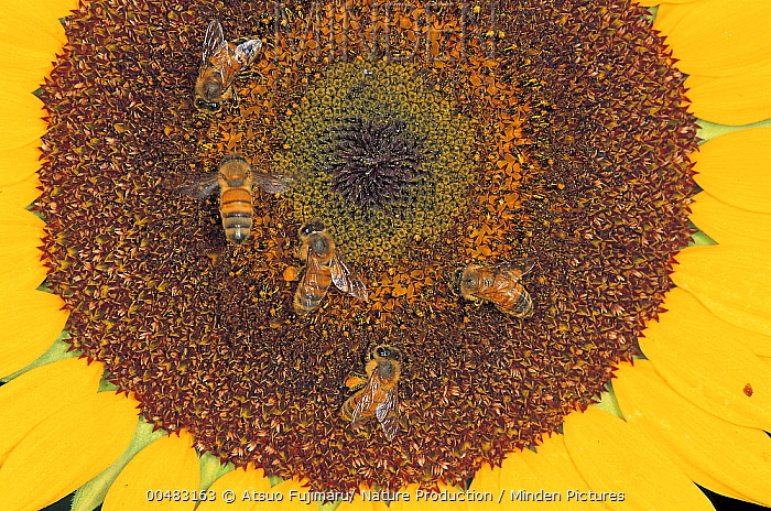Honey Bee (Apis mellifera) group on Common Sunflower (Helianthus annuus), Tokyo, Japan  -  Atsuo Fujimaru/ Nature Productio
