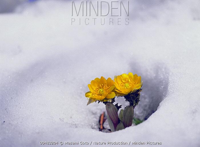 Amur Adonis (Adonis amurensis) flowers emerging from snow, Hokkaido, Japan  -  Masami Goto/ Nature Production