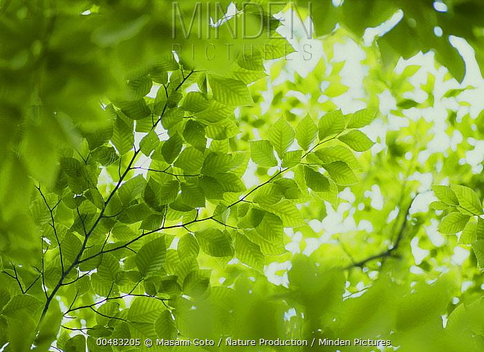 Japanese Beech (Fagus crenata) leaves, Hokkaido, Japan  -  Masami Goto/ Nature Production