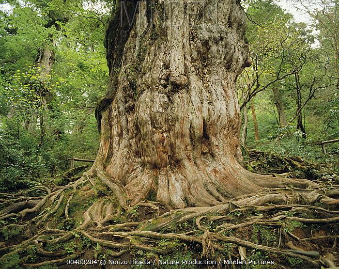 Japanese Cedar (Cryptomeria japonica) ancient tree, Jomon-sugi, estimated 2,200- 7,2000 year old, Yakushima Island, Kagoshima, Japan  -  Norizo Higeta/ Nature Production