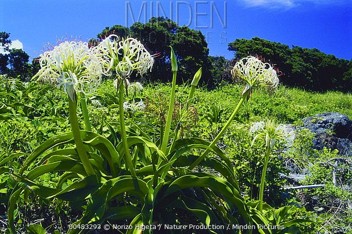 Asiatic Poisonbulb (Crinum asiaticum) flowering, Yakushima Island, Kagoshima, Japan  -  Norizo Higeta/ Nature Production