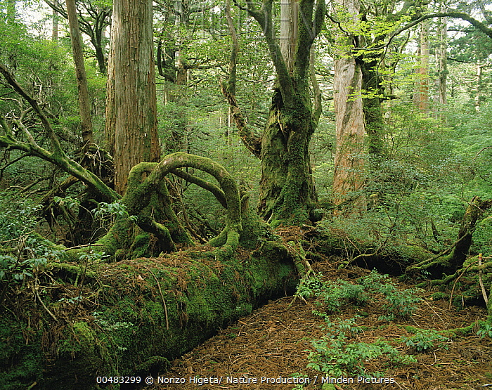 Wheel Tree (Trochodendron aralioides) and Japanese Cedar (Cryptomeria japonica) succession in old growth forest, Yakushima Island, Kagoshima, Japan  -  Norizo Higeta/ Nature Production