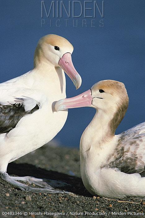Short-tailed Albatross (Phoebastria albatrus) adult and subadult, Torishima, Izu Islands, Japan  -  Hiroshi Hasegawa/ Nature Product