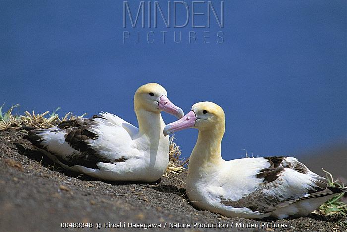 Short-tailed Albatross (Phoebastria albatrus) pair, Torishima, Izu Islands, Japan  -  Hiroshi Hasegawa/ Nature Product