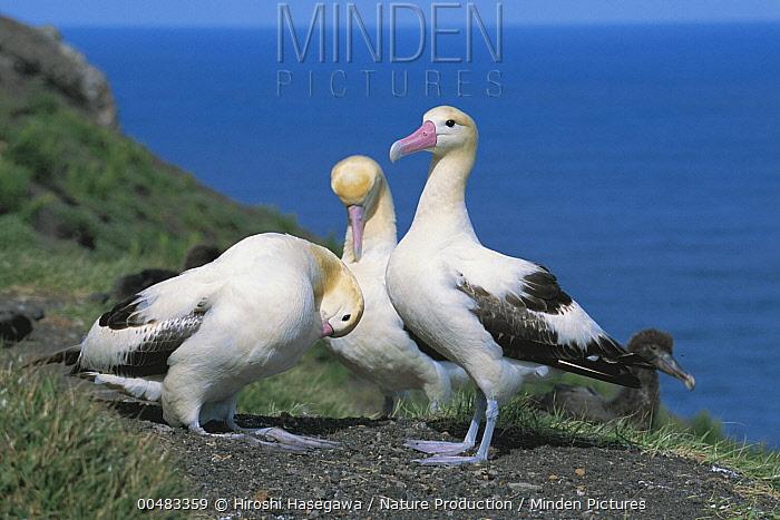 Short-tailed Albatross (Phoebastria albatrus) trio preening, Torishima, Izu Islands, Japan  -  Hiroshi Hasegawa/ Nature Product