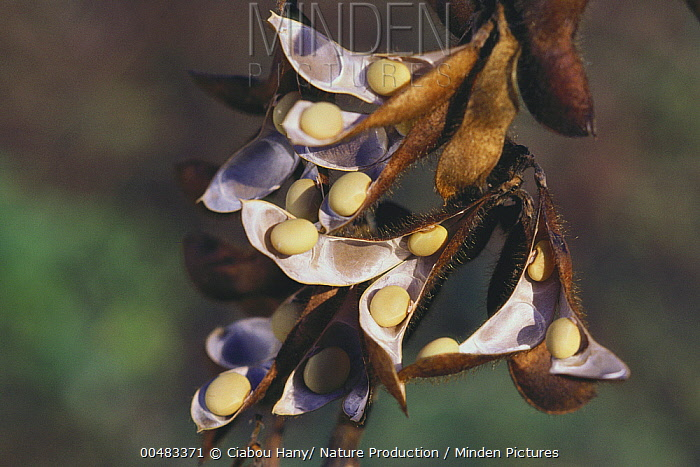 Soybean (Glycine max) pods splitting open to reveal seeds  -  Ciabou Hany/ Nature Production