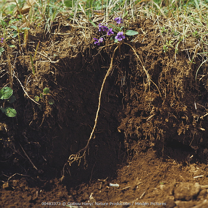 Violet (Viola mandshurica) taproot shown against excavated cross-section of soil  -  Ciabou Hany/ Nature Production