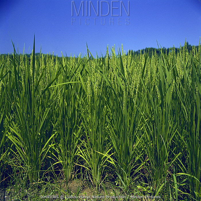 Rice (Oryza sativa) plants in crop field  -  Ciabou Hany/ Nature Production
