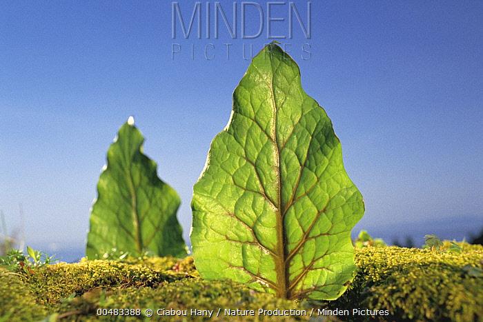 Giant Woodland Lily (Cardiocrinum cordatum)  -  Ciabou Hany/ Nature Production