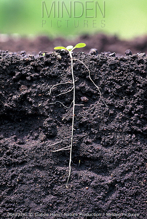 Dandelion (Taraxacum sp) seed with small root system and cotyledons. Sequence 7 of 11  -  Ciabou Hany/ Nature Production