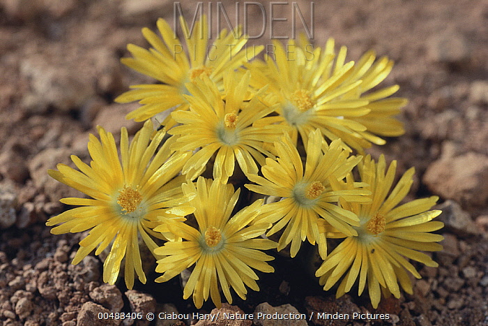 Living Stone (Lithops sp) flowering profusely, Oita, Japan  -  Ciabou Hany/ Nature Production