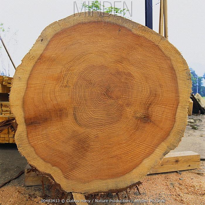 Japanese Cedar (Cryptomeria japonica) log cross-section, Gunma, Japan  -  Ciabou Hany/ Nature Production
