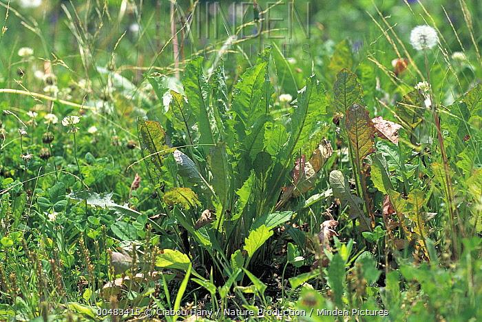 Dandelion (Taraxacum officinale), Gunma, Japan  -  Ciabou Hany/ Nature Production