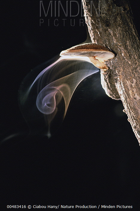 Shiitake Mushroom (Lentinus edodes) releasing a cloud of spores  -  Ciabou Hany/ Nature Production