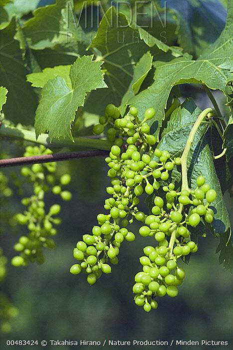 Grape (Vitis vinifera) cluster of fruits developing on the vine  -  Takahisa Hirano/ Nature Producti