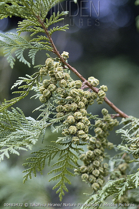 Sawara False Cypress (Chamaecyparis pisifera) leaves and cones  -  Takahisa Hirano/ Nature Producti