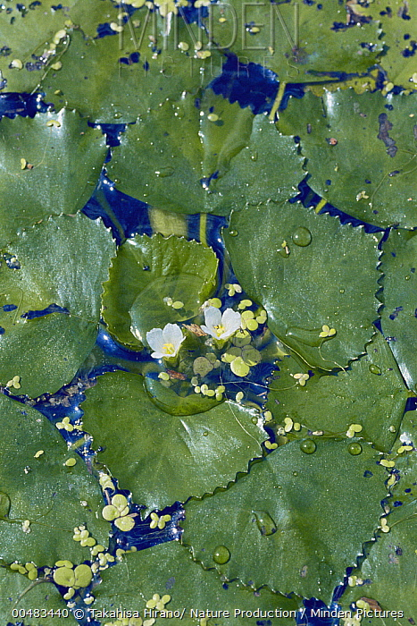 Water Chestnut (Trapa natans) flowers and leaves floating on water  -  Takahisa Hirano/ Nature Producti