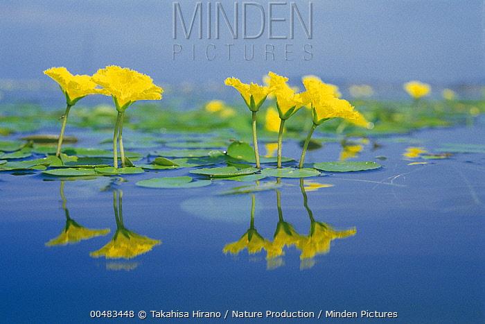 Fringed Water-lily (Nymphoides peltata) flowers  -  Takahisa Hirano/ Nature Producti