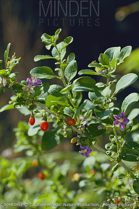 Chinese Wolfberry (Lycium chinense) flowers, fruits, and leaves  -  Takahisa Hirano/ Nature Producti