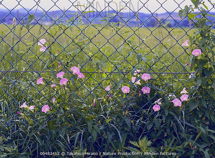 Japanese False Bindweed (Calystegia hederacea) flowers climbing through a fence  -  Takahisa Hirano/ Nature Producti