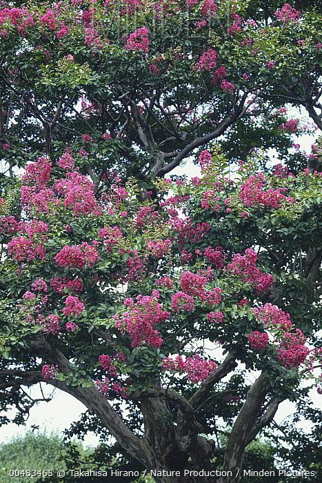 Crape Myrtle (Lagerstroemia indica) tree in flower, Jindai Botanical Garden, Tokyo, Japan  -  Takahisa Hirano/ Nature Producti