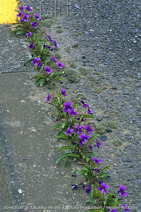 Violet (Viola mandshurica) flowers emerging from crack in pavement, Tokyo, Japan  -  Takahisa Hirano/ Nature Producti