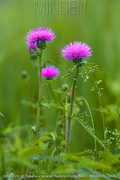 Japanese Thistle (Cirsium japonicum) flower heads, Chiba, Japan  -  Takahisa Hirano/ Nature Producti
