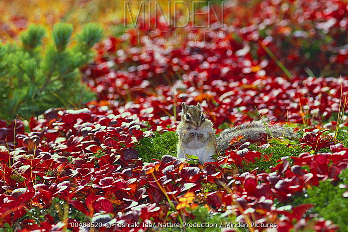 Siberian Chipmunk (Tamias sibiricus)  -  Toshiaki Ida/ Nature Production