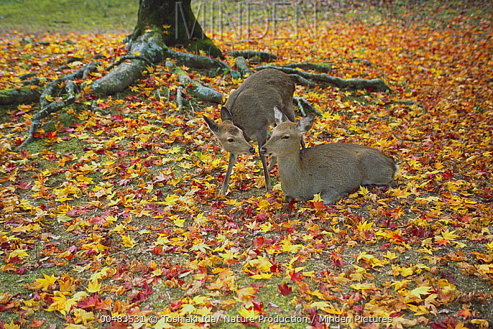 Sika Deer (Cervus nippon) adult and juvenile, Miyajima, Hiroshima, Japan  -  Toshiaki Ida/ Nature Production