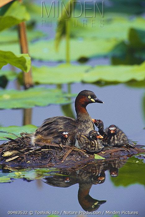 Little Grebe (Tachybaptus ruficollis) female and her chicks on floating nest, Tokyo, Japan  -  Toshiaki Ida/ Nature Production