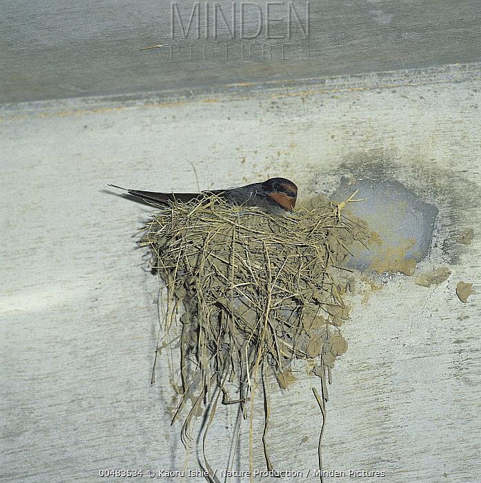 Barn Swallow (Hirundo rustica) on nest, Kanagawa, Japan  -  Kaoru Ishie/ Nature Production