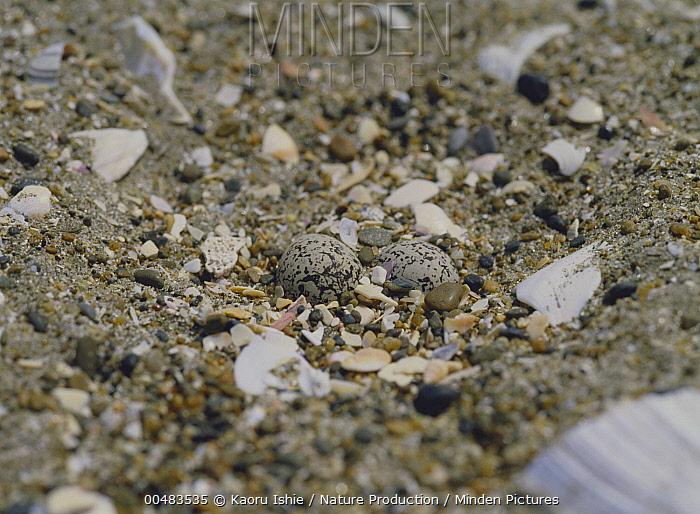 Kentish Plover (Charadrius alexandrinus) eggs in scrape nest, Ibaraki, Japan  -  Kaoru Ishie/ Nature Production
