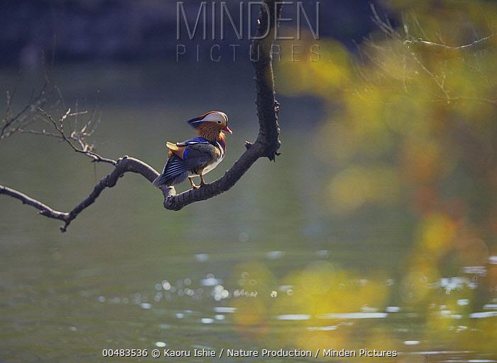 Mandarin Duck (Aix galericulata) male on branch, Inokashira Park, Tokyo, Japan  -  Kaoru Ishie/ Nature Production