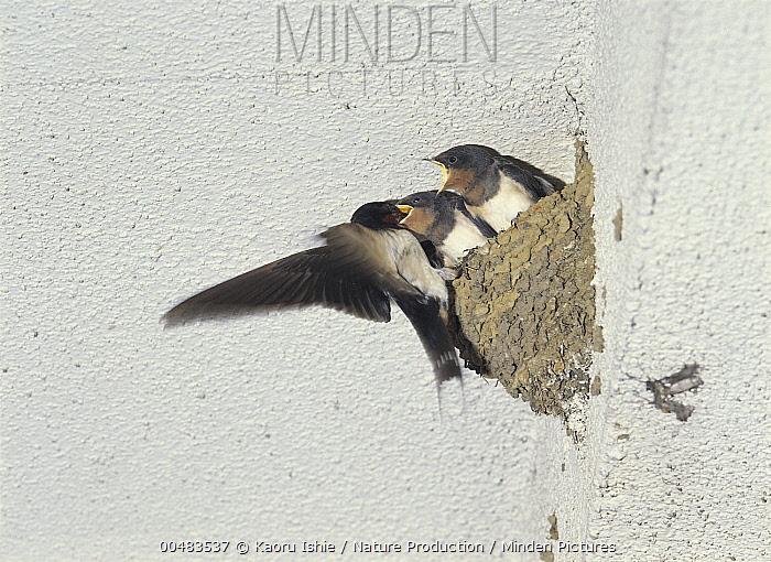 Barn Swallow (Hirundo rustica) feeding offspring at nest, Kanagawa, Japan  -  Kaoru Ishie/ Nature Production