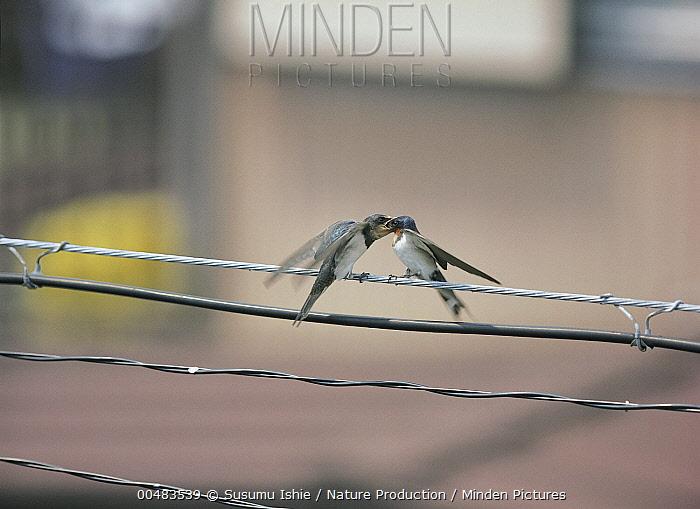 Barn Swallow (Hirundo rustica) feeding chick, Kanagawa, Japan  -  Susumu Ishie/ Nature Production