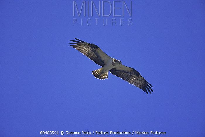 Osprey (Pandion haliaetus) flying, Kanagawa, Japan  -  Susumu Ishie/ Nature Production